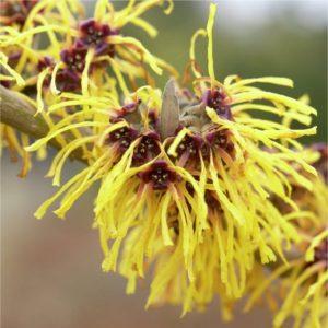 Hamamélis en fleur